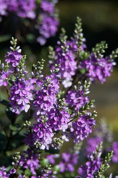 Buy shruby veronica Hebe Garden Beauty Purple ('Nold') (PBR) (Garden Beauty Series): Delivery by Crocus Seaside Garden, Garden Oasis, All Year Round Plants, Small Evergreen Shrubs, Dwarf Shrubs, Blue And Purple Flowers, Border Plants, Purple Garden, Garden Shrubs