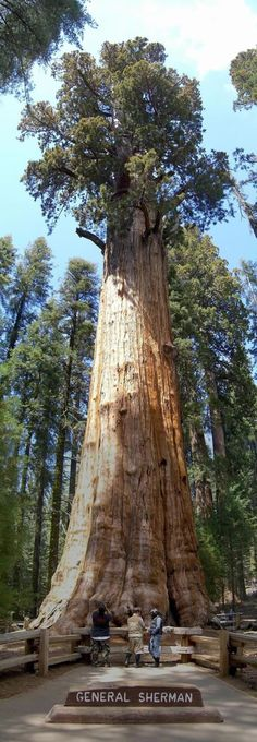 Giant Sequoias [wiki] (Sequoiadendron giganteum), which only grow in Sierra Nevada, California, are the world's biggest trees (in terms of volume). The biggest is General Sherman [wiki] in the Sequoia National Park