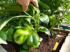 Paprikapflanze  im Gewächshaus