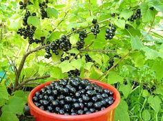 Подкормка смородины после сбора ягод