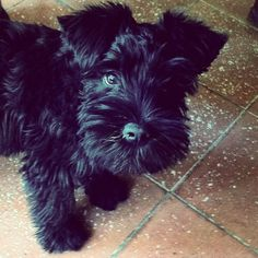 This Miniature Schnauzer puppy. Love!