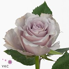 Safi Roses are lilac & usually available all year round. 70cm stem lengths…