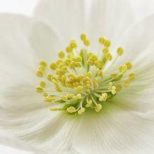 Fototapete - White Christmas Rose