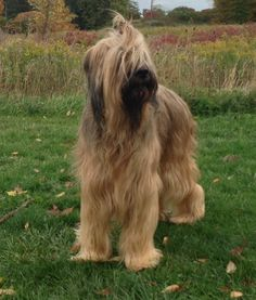 Miss Daisy, our beautiful Briard