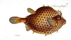puffer fish illustration - Google Search