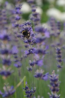 Hummel im Lavendel | von blog_bleistift