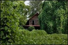 Kudzu....there's a joke in the South that you can plant kudzu in your back yard and it will beat you to the door.