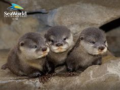 baby otters loutres trio