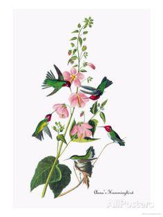 Anna's Hummingbird Affiche par John James Audubon sur AllPosters.fr