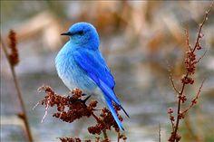 Mountain Bluebird by Adam Adkins