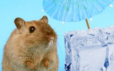 Small animals are very sensitive to high temperatures. This is not a problem in nature because small animals like hamsters find a place that is humid and cold and hide from high temperatures. However, hamsters who live as pets in captivity cannot hide from high temperatures and take care of their health. #hamsters #hamster #hamsterlove #hamsterlife #hamsterlover Hamster Life, Small Animals, Hamsters, Cold, Live, Pets, Health, Nature, Naturaleza
