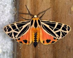 The Parthenice Tiger Moth (Grammia parthenice) is a moth of the ...