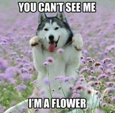 Flower Husky Meme | #Siberian #Husky
