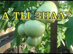 Как заставить томаты краснеть