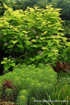"Dirt Therapy: JC Raulston Arboretum - gorgeous combination  Catalpa bignonioides ""Aurea"""
