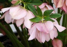 Amazon.com: Cotton Candy Christmas/Lenton Rose - Helleborus - Shade: Patio, Lawn & Garden
