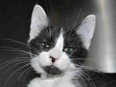 A730954 is an adoptable Domestic Short Hair Cat in Martinez, CA.  ...