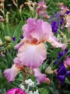 Bearded Iris - DC botanical gardens