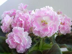 ПТ-Санта-Роза Unusual Flowers, Beautiful Flowers, Saintpaulia, Inside Plants, Indoor Plants, Patio Plants, Amazing Gardens, African Violet, House Plants