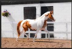 Solaris Buenno Homozygous coloured warmblood stallion at stud in the UK Scotland