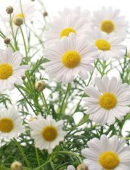 How to Plant and Grow German and Roman Chamomile