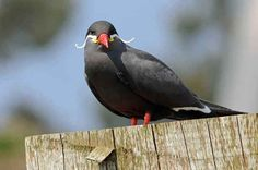 This Inca Tern who has a full-time moustache.
