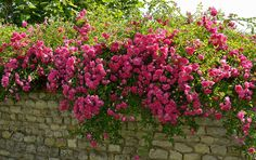 A rose covered stone wall in France. | Photo by Tame1954, via Flickr