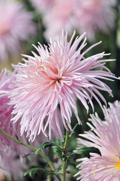 Frilly Chrysanthemums