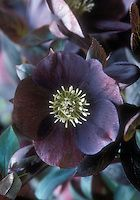 Single dark purple black hellebore Mardi Gras Black Shades