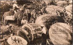 William H. Martin, Talla Uno de nuestros Sandías de 1909, el Fondo de fotografía del siglo XX.