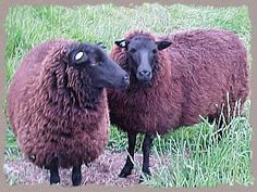 """Black Welsh Mountain Sheep.  """"The wool is soft, but hard wearing, black but can be burnt by the sun to a striking reddish color."""""""