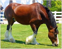 Beautiful Clydesdale draft horse