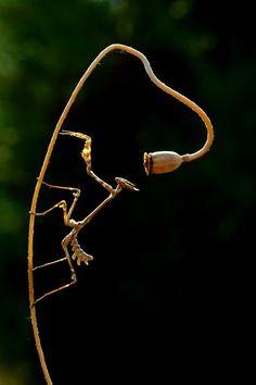 La mantide è l'essere vivente che odio di più: non la sopporto proprio. I rumori di affilatura di coltello, era quello del movimento concitato delle ali della cicala morente.