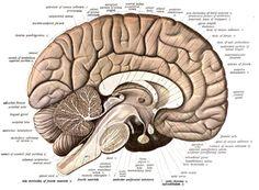 Sistema limbico - Wikipedia