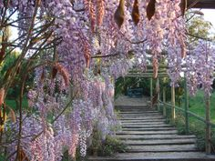 This gorgeous wisteria vine is in a garden in Portugal. Note the seating area at the end of path.  How delightful!