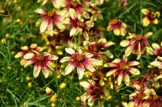 Threadlife Coreopsis