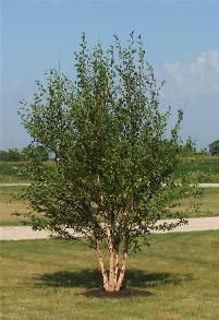 River Birch Why it rocks: One of the most popular landscape trees available, River Birch is an excellent addition to any home. River Birch is a multi-stemmed clump tree, making it one of the best trees for screening and privacy. This versatile, fast gro