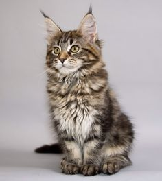 Maine Coon Kitten - looks like my new baby