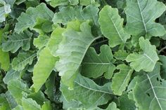 Chou Daubenton- Perennial Kale, grows on for years, divide by sideshoots, the will be a very crisp and mild kale for you to eat all year round. avaliable at my organic nursery and webshop at www.fuglebjerggaa...