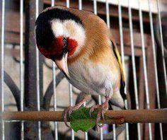 Le Charme Absolu du Chardonneret 😍 قمة الجمال https://www.youtube.com/+bilelseg https://www.facebook.com/ChardonneretBilelKios/ https://www.instagram.com/bilelkios/ #الحسون #المقنين #القرديل #Chardonnerert #Canari #Mulet #MuletOiseau #Oiseau #Birds #Animaux #Goldfinch #Jilguero #Cardellino #καρδερίνα #Sakakuşu #Chien #Chat #Pigeon #Cheval #Science #Reptile #Poisson #Plantes #Hibiscus #Alger #Algérie #Tunisie #Maroc #ChardonneretGolden #BilelKios
