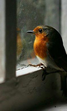 Ahmet krtl - European Robin Nester, European Robin, Garden Animals, Nature Animals, Animals And Pets, Funny Animals, Cute Animals, Robin Redbreast, Exotic Birds