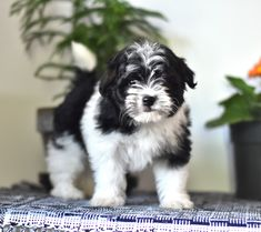 Fluffy and ready to be your #BestFriend! 🐾These cute #Havanese puppies are sweet and so excited about the #Beautiful sunny days 🌞, when they can have playtime in the yard. 🏕️🍃 #Charming #PinterestPuppies #PuppiesOfPinterest #Puppy #Puppies #Pups #Pup #Funloving #Sweet #PuppyLove #Cute #Cuddly #Adorable #ForTheLoveOfADog #MansBestFriend #Animals #Dog #Pet #Pets #ChildrenFriendly #PuppyandChildren #ChildandPuppy #LancasterPuppies www.LancasterPuppies.com Havanese Breeders, Havanese Puppies For Sale, Happy Puppy, Puppy Love, Sheepadoodle Puppy, Chihuahua Names, Lancaster Puppies, Mini Goldendoodle, Good Buddy