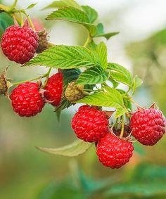 Growing Organic Berries by Grigory_bruev on PhotoDune. Ripe Raspberry In The Fruit Garden Raspberry Bush, Raspberry Plants, Raspberry Seed Oil, Raspberry Tree, Fruit And Veg, Fruits And Vegetables, Photo Fruit, Growing Raspberries, Thornless Blackberries