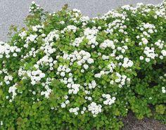 'tawuła brzozolistna ''''Thor Gold'''' - Spirea betulifolia / Doniczka: C White Flowers, Beautiful Flowers, White Gardens, Spring Time, Shrubs, Perennials, Plants, Climbers, Gardening