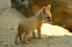 Фенек большеухая лиса - мастер по выживанию в пустыне
