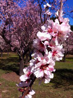 Almendros en flor en el parque 'La Quinta de los Molinos' @Nuria Sastre #Primavera