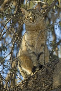 The wild ancestor of the domestic cat: the African Wild Cat (Felis silvestris lybica). Wow, cat domestication sure has come a long way. It's a cat. African Wild Cat, African Cats, African Animals, I Love Cats, Big Cats, Cool Cats, Cats And Kittens, Beautiful Creatures, Animals Beautiful