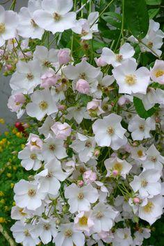 Rosa filipes 'Kiftsgate' Plants, Garden, Fresco, White Gardens, Rose, Flowers, Nature