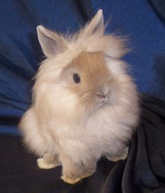 Proud little Lion Head bunny. I love lionheads! Animals And Pets, Baby Animals, Cute Animals, Wild Animals, Baby Bunnies, Cute Bunny, Coelho Lion, Beautiful Creatures, Animals Beautiful