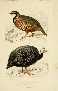 gravures couleur d'oiseaux - Gravure oiseau 0267 pintade commune - numida meleagris - gallinace - Gravures, illustrations, dessins, images